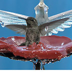 Hummingbird Bathing