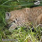 A Sleepy Bobcat Named Raindance