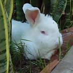 new zeland rabbit