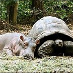 Hippos and Tortoises