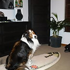 Dogs on Surfboards