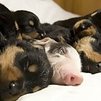 Baby pig with Rottweilers