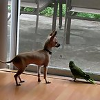Chihuahua and Parrot
