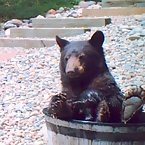 Bear in the tub
