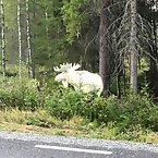 Albino Moose in the Wild
