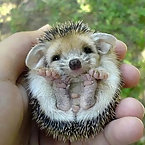 Hedgehogs are cute