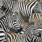 Striped Zebras