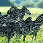 Striped Zebras