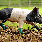 Pigs with rainboots