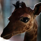World's Smallest giraffe