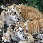 Tiny Large Cats