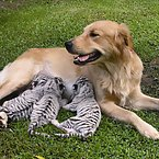 Golden Retriever raises tigers