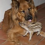 Dog raises a baby boar
