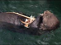 Sea otter eating