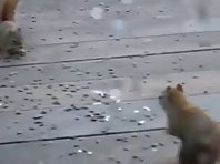 Squirrel Epic Fight!