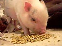 Eating pig