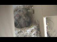 Newborn bird opera