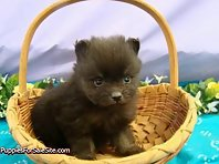 Cute Pomeranian puppies!