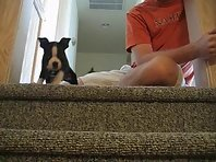 Tux our Boston Terrier puppy falls down the stairs