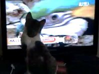 Catzy the cat watching Parrots & Otters on Animal Planet