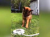 Cuteness Overload-German Shepherds new toy