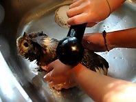 Bathing a guinea pig