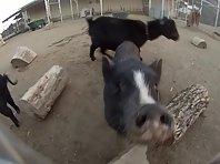 Stunt Pigs