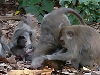 Monkey family and their daily chore