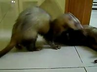 Ferret kung fu fighting