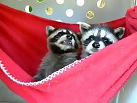 Raccoon in a hammock