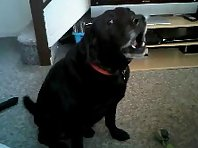 black labrador singing
