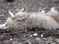 Sheep that can't get up