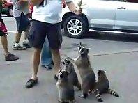 Raccoons beg