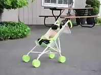 Pug Puppy Pushes Baby Stroller!!!