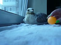 Mojo, the funny seagull plays ping pong!