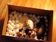 Ferrets in a box