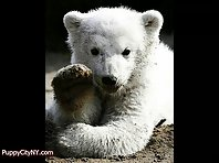 Knut The Polar Bear - A Tribute