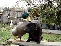 DUCK VS DOG