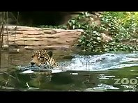 Swimming Jaguar