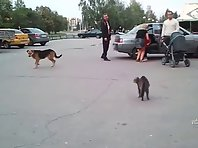 Cat runs up and attacks a dog