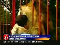 Lion kisses a person