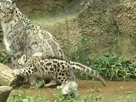 Baby snow leopards in Tokyo