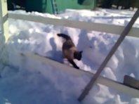 Balinese Cat loves snow !!