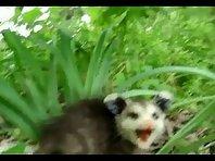 Crazy Possum
