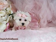 Maltese puppies - look how cute!