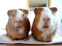 Guinea Pigs Eating Contest