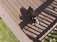 Drone vs Boston Terrier