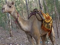 The unblinkig Camel