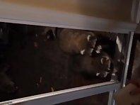 racoons, cute, eating