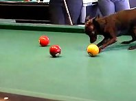 chihuahua playing pool